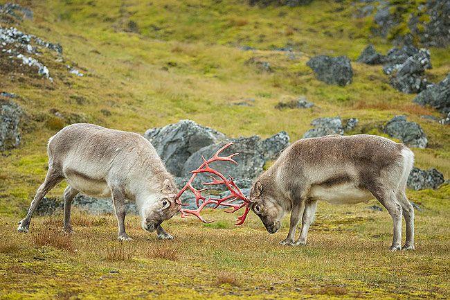 Reindeer-challenging-each-other_B8R6228-Alkhornet-Svalbard-Arctic.jpg