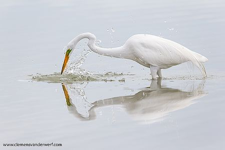 Great-egret-in-breeding-colors-catching-prey_E7T4121-Estero-Lagoon-Fort-Myers-Beach-USA.jpg