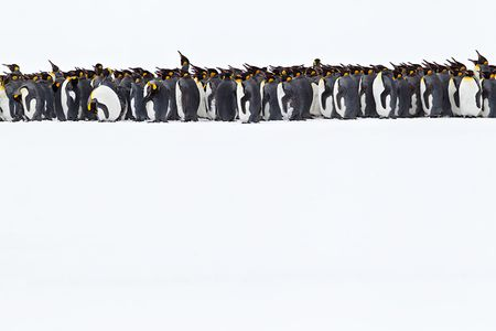 King-Penguins-line-up-on-white-canvas-BM7E1464-Right-Whale-Bay-South-Georgia-Islands.jpg