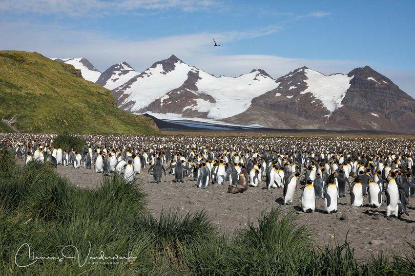 king-penguin-colony-and-mountains_83a3940-salisbury-plain-bay-of-isles-south-georgia-island.jpg