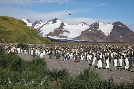 king-penguin-colony-and-mountains_83a3940-salisbury-plain-bay-of-isles-south-georgia-island.jpg
