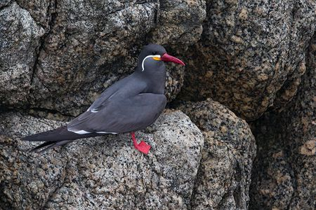 Inca-Tern-on-the-rocks_E7T0693-Concon-Vina-del-Mar-Chile1.jpg