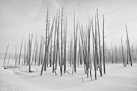 Dead trees in snow field HDR_B&W_S6A6487-Yellowstone National Park, WY, USA.jpg
