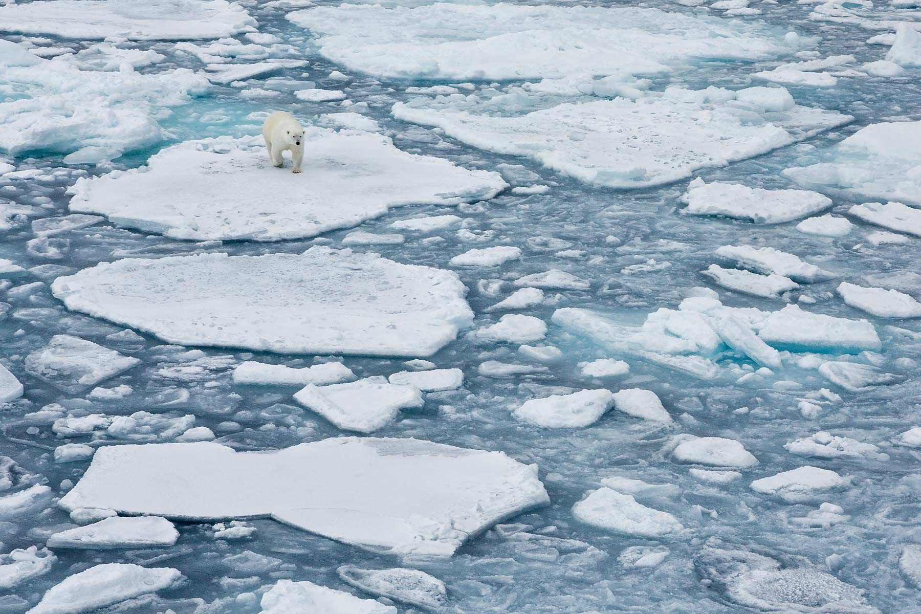 Polar-bear-walking-in-sea-ice-environment_S6A3231-Sea-ice-at-82-degree-North,-Svalbard,-Arctic.jpg