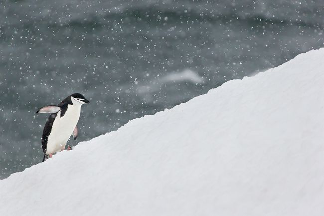 Chinstrap-Penguin-on-uphill-battle-in-snow_E7T0247-Half-Moon-Island-Antarctica.jpg