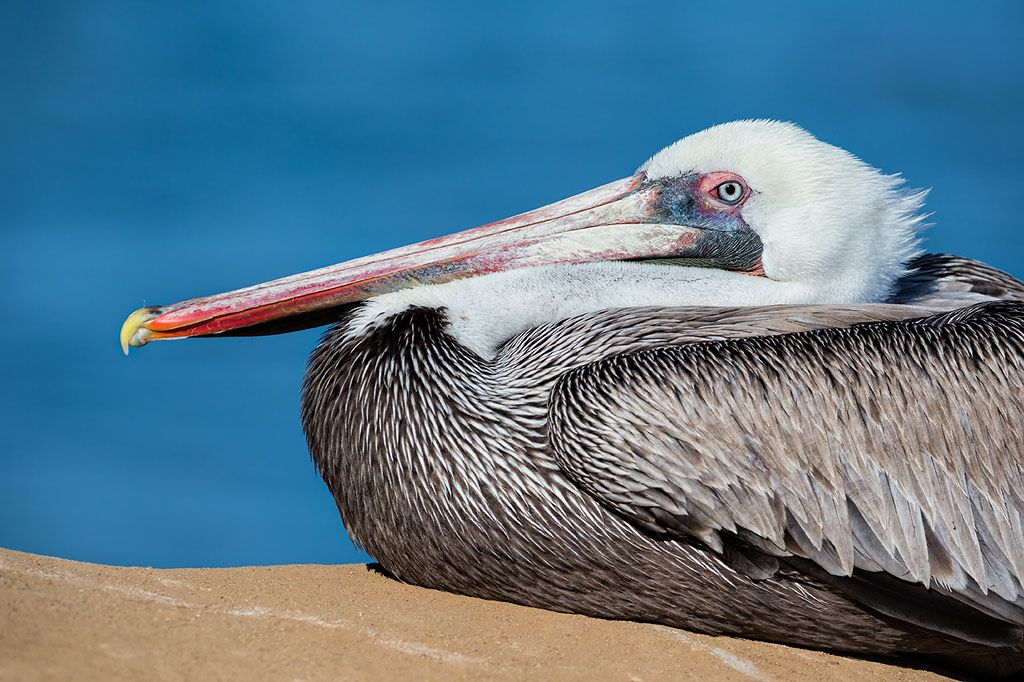 Brown-pelican-with-white-head_E7T9454-La-Jolla-Cliffs-La-Jolla-USA.jpg