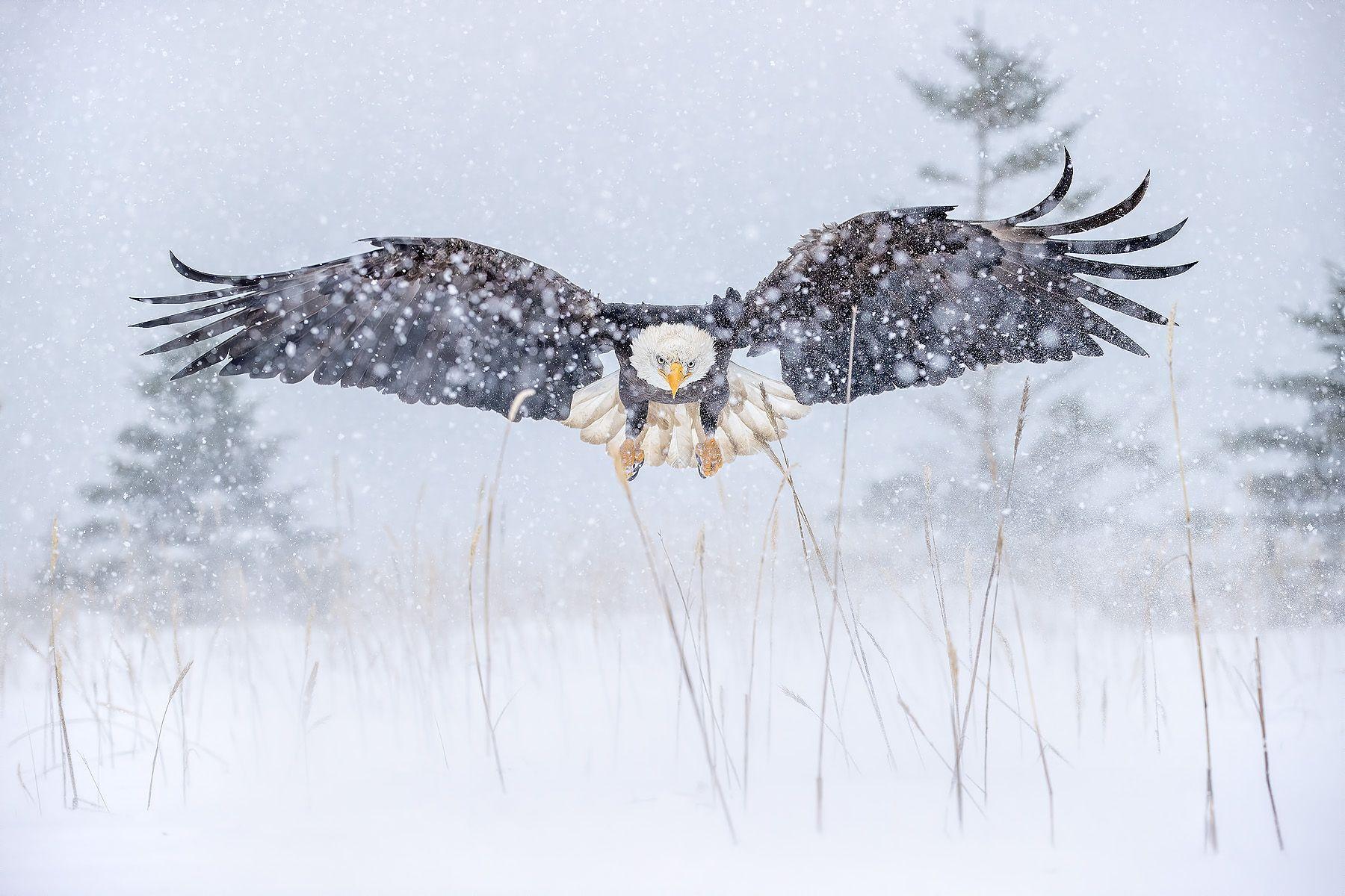 Bald eagle approach in snow storm_95I4886-Kachemak Bay, Kenai Peninsula, AK, USA.jpg
