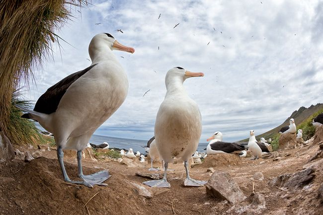 Black-bowed-Albatrosses-socializing-fisheye-view_E7T4874-Steeple-Jason-Falkland-Islands.jpg