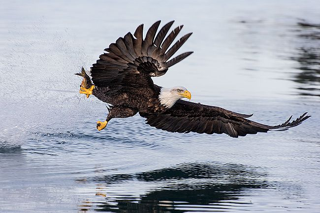 Bald-eagles-with-fish-wings-forward_B8R7822-Kachemak-Bay-Homer-AK.jpg