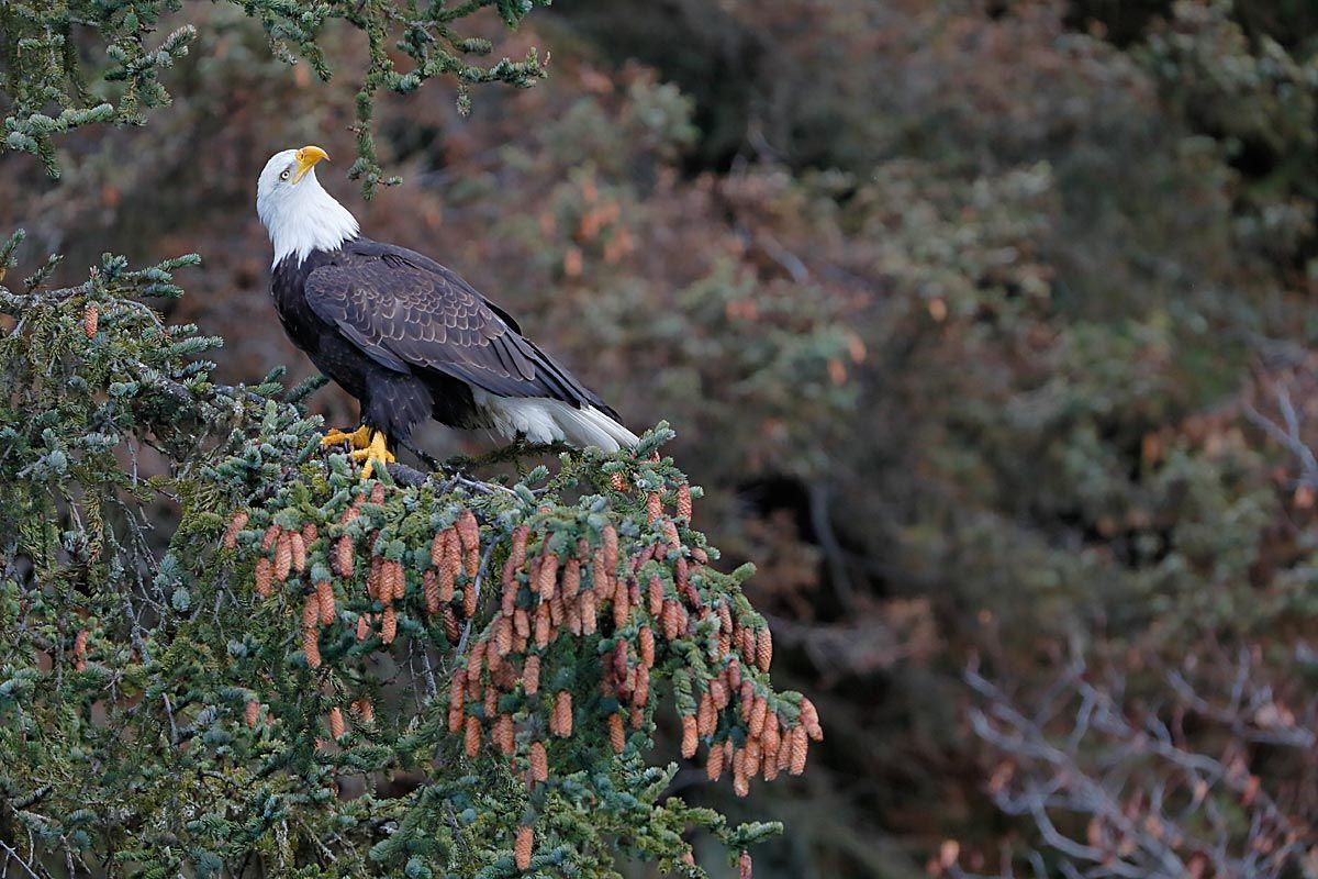 bald-eagle-looking-up-with-pine-cones_b8r9615-kachemak-bay-homer-alaska-usa.jpg