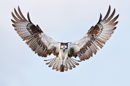 Osprey-frontal-view-wings-up-III_B8R9694-Lake-Blue-Cypress,-Indian-River-County,-FL,-USA.JPG