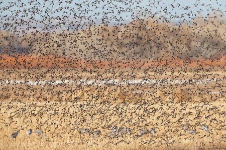 Red-wing-Blackbirds-blast-off-with-Sandhill-cranes-and-Snow-Geese_E7T4742-Bosque-del-Apache-NWR,-San-Antonio,-NM,-USA.JPG