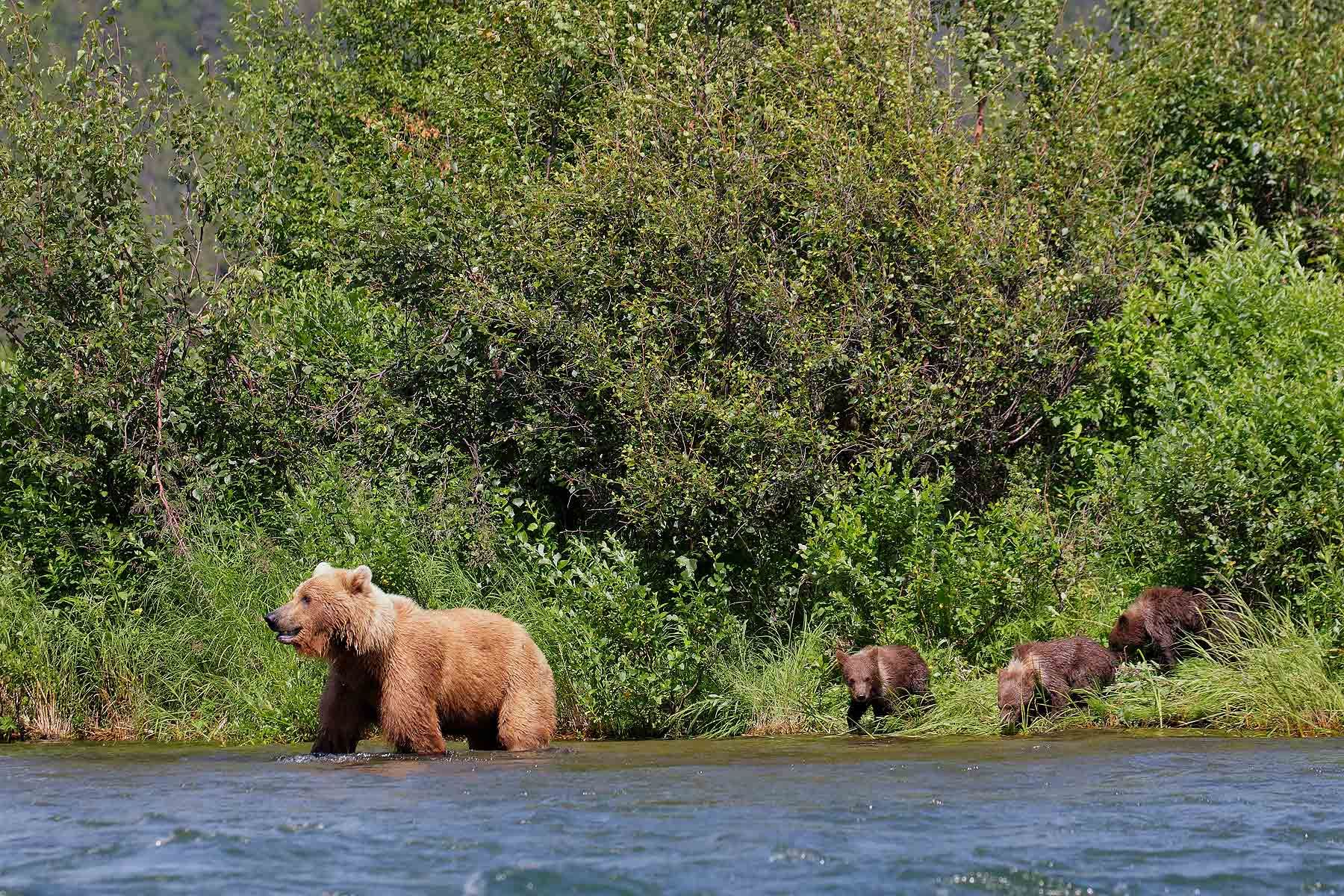 Coastal-brown-bear-standing-in-river-with-cubs_44A3273-Alagnak-River,-Katmai-National-Park-&-Preserve,-AK,-USA.jpg