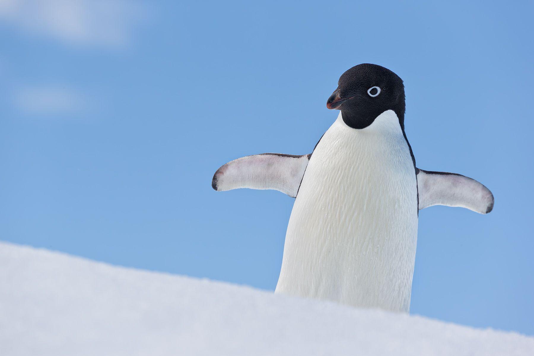Adelie-Penguin-on-iceberg-with-blue-sky_E7T1593-Detaille-lsland,-Antarctica.jpg