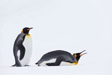 King-Penguins-eating-snow_E7T3805-Fortuna-Bay-South-Georgia-Islands.jpg
