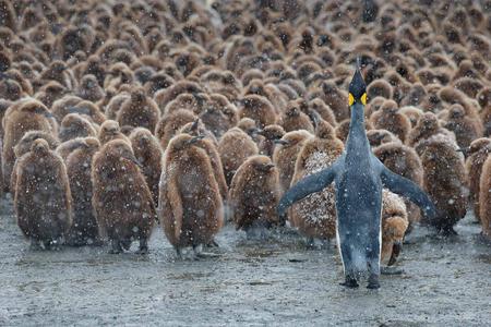 King-Penguin-and-Oakum-boys_B8R4375-Gold-Harbour,-South-Georgia-Islands,-Southern-ocean.JPG