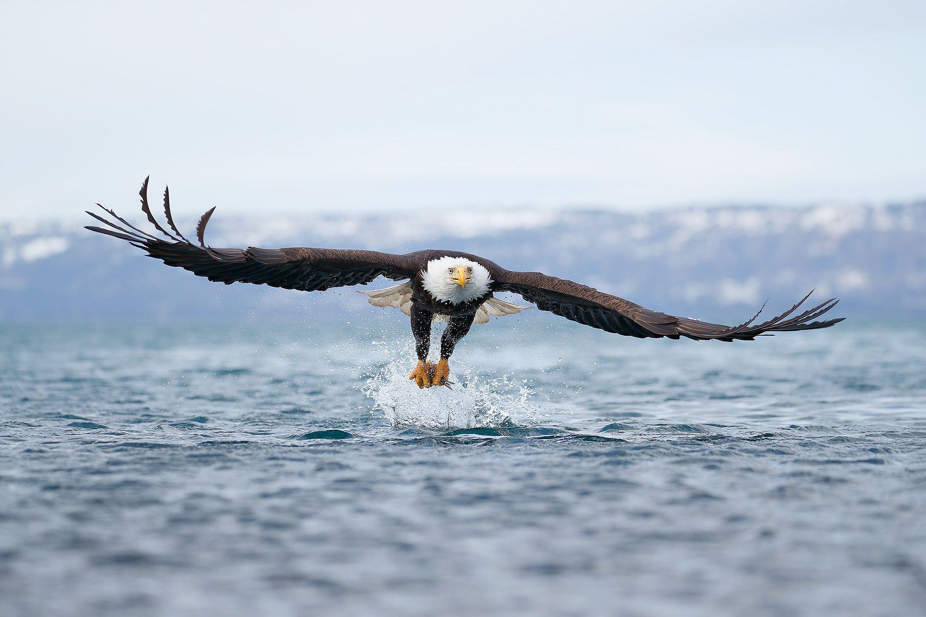 Bald eagle with wings wide over water_A3I4244-Kachemak Bay, Kenai Penisula, AK, USA.jpg