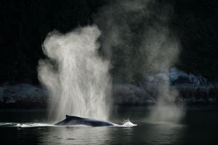 Humpback-whale-with-spray-backlit_A3I1325-Gribbell-Island,-British-Columbia,-Canada.JPG