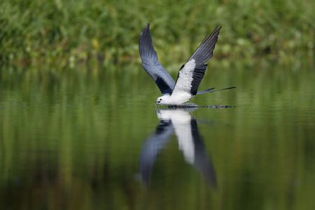 Swallow tail kite drinking_A3I1229- Lake Woodruff, DeLand, FL, USA.jpg