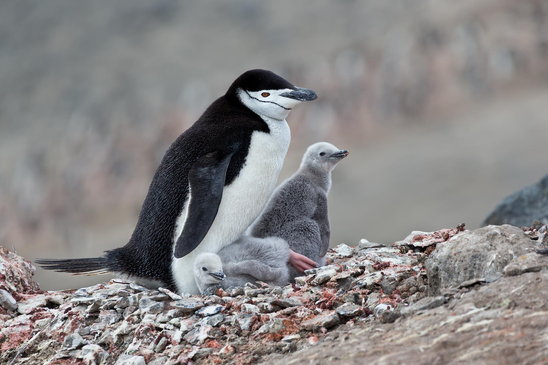 Chinstrap-Penguin-with-two-chicks-on-nest_E7T4331-Bailey-Head,-Deception-Island,-Antarctica.jpg
