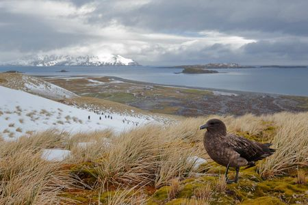 Brown-Skua-an-a-hill-top_E7T3490-Salisbury-Plain,-Bay-of-Isles,-South-Georgia-Islands,-Southern-ocean.JPG