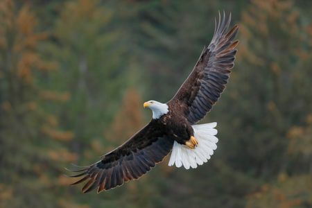 Bald eagle banking with tree background_B8R6583-Kachemak Bay, Homer, Alaska, USA.jpg