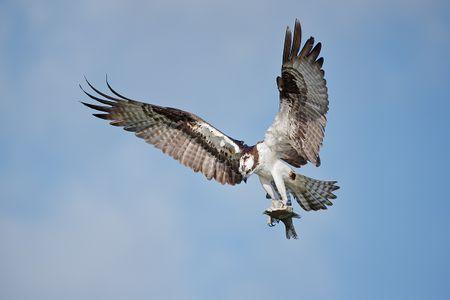 osprey-with-fish-against-blue-sky_e7t1386-lake-blue-cypress-fl-usa.jpg