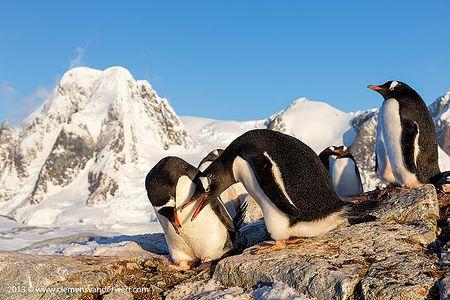 Gentoo-penguins-showing-courting-behavior_S6A9926-Petermann-Island-Antarctica.jpg
