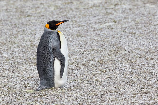 King-Penguin-standing-on-snow-with-molting-feathers_E7T0500-St.jpg