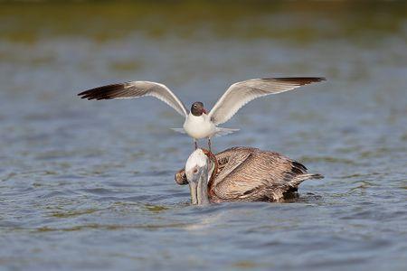 laughing-gull-on-top-of-brown-pelican_b8r9646-alafia-banks-gibsonton-fl-usa.jpg