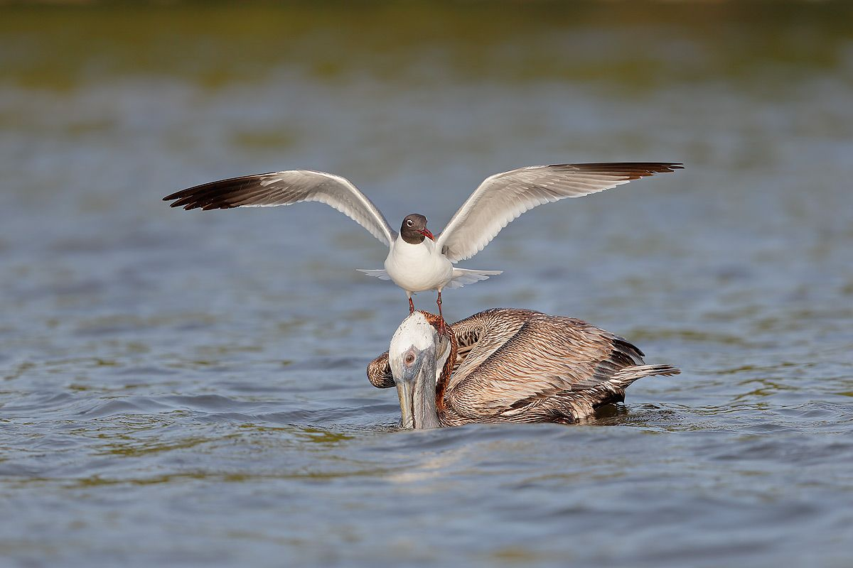 laughing-gull-on-top-of-brown-pelican_b8r9646-alafia-banks-gibsonton-fl-usa.jpg