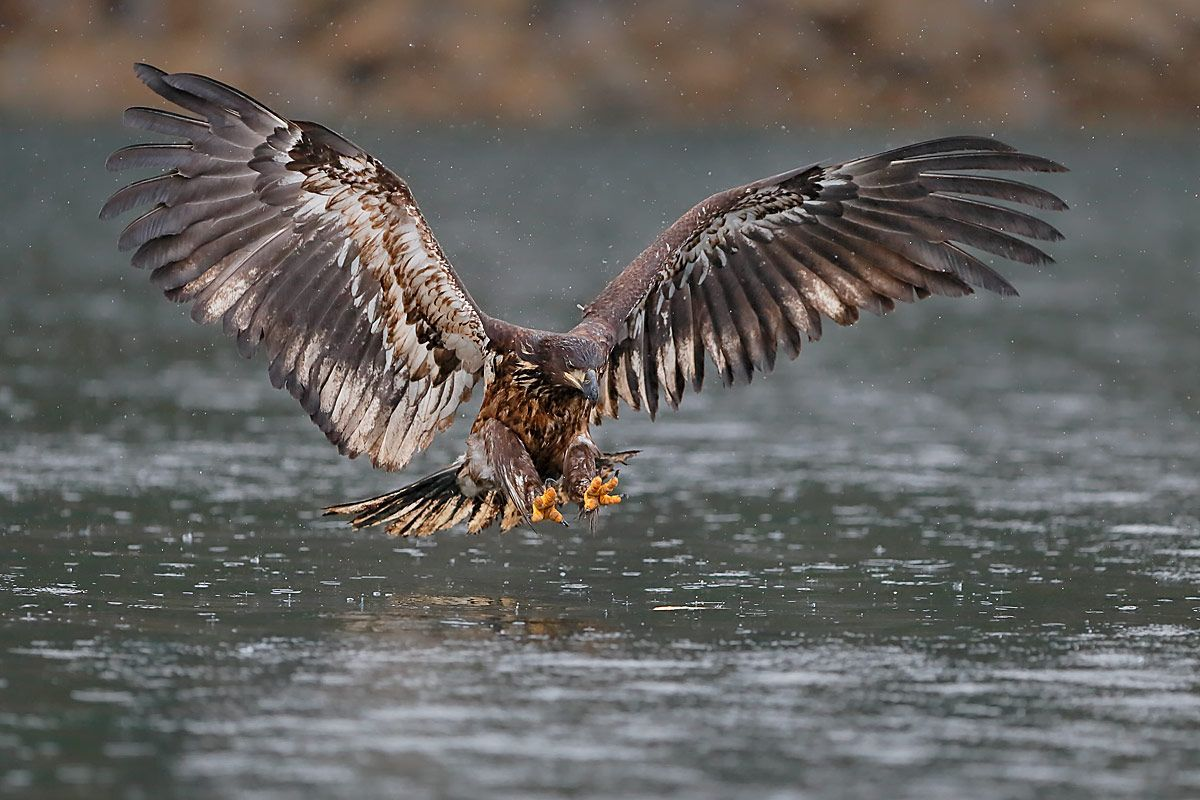 bald-eagle-immature-ready-for-the-catch_b8r9371-kachemak-bay-homer-alaska-usa.jpg