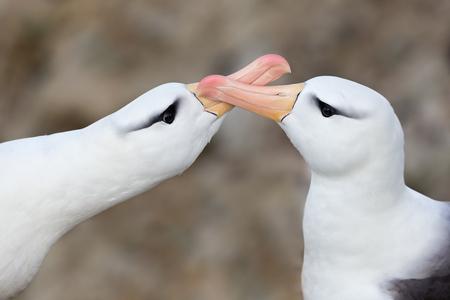 Black-bowed-Albatrosses-clapping-bills_B8R7269-New-Island,-Falkland-Islands.JPG