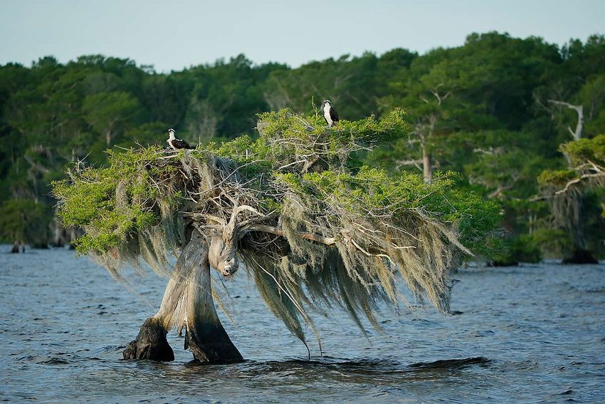 ospreys-nesting-on-cypress-tree_e7t1222-lake-blue-cypress-fl-usa.jpg