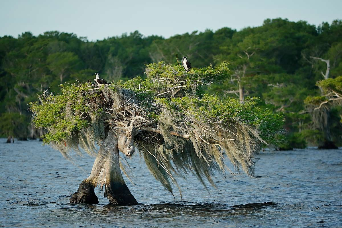 ospreys-nesting-on-cypress-tree_e7t1222-lake-blue-cypress-fl-usa.jpg