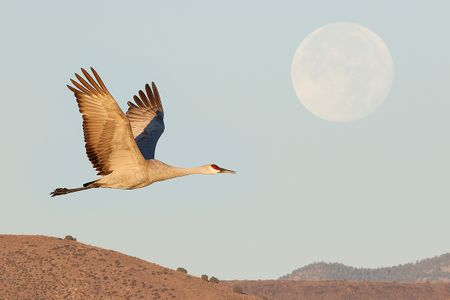 sandhill-crane-and-full-moon-1_44a5192-bosque-del-apache-nwr-san-antonio-nm-usa.jpg