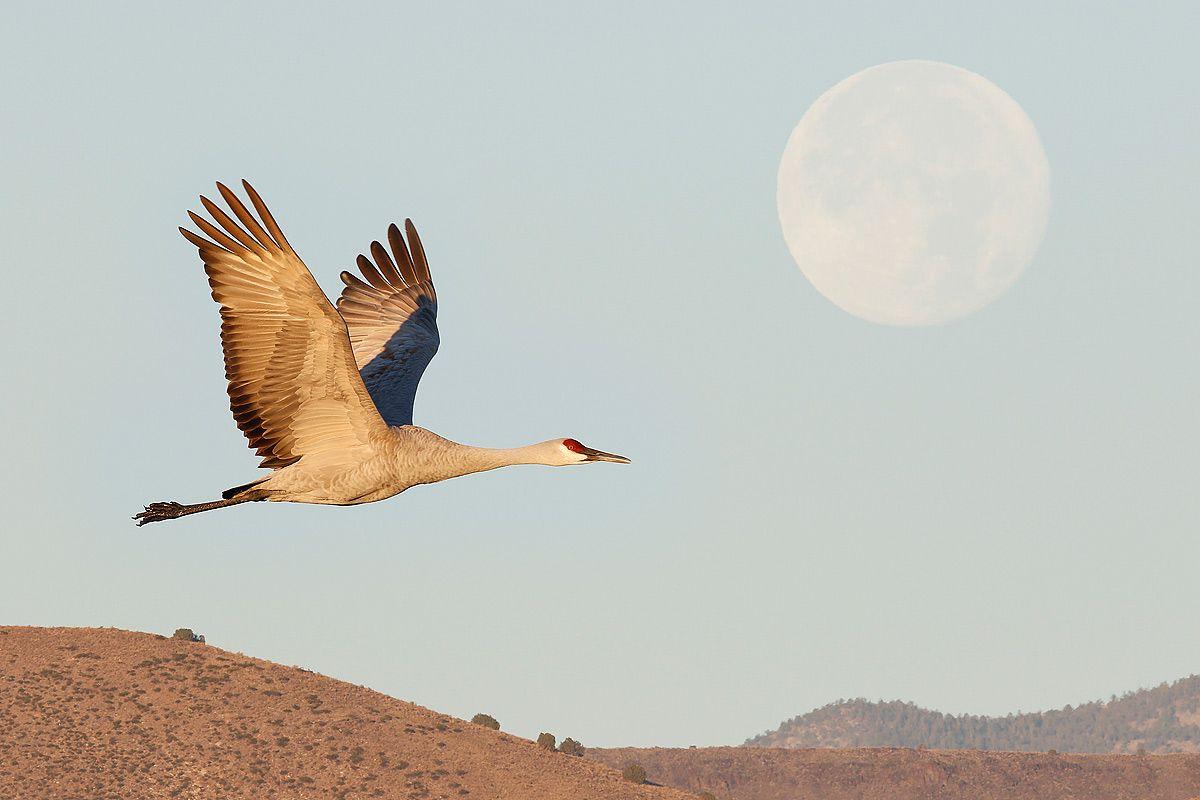 sandhill-crane-and-full-moon-1_44a5192-bosque-del-apache-nwr-san-antonio-nm-usa.jpg