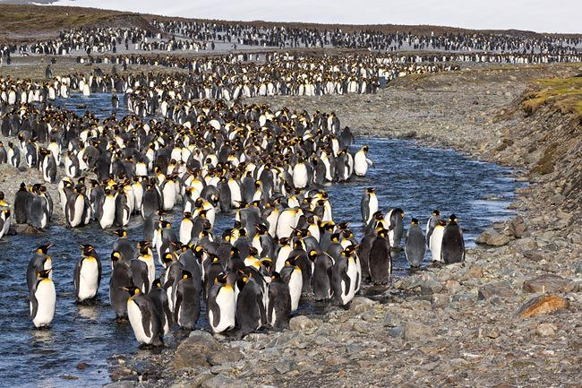 King-Penguins-lined-up-along-the-river_E7T0384-St.jpg