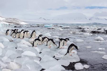 Adelie-penguins-lined-up-on-ice-blocks_E7T8159-Brown-Bluff,-Antarctica.JPG