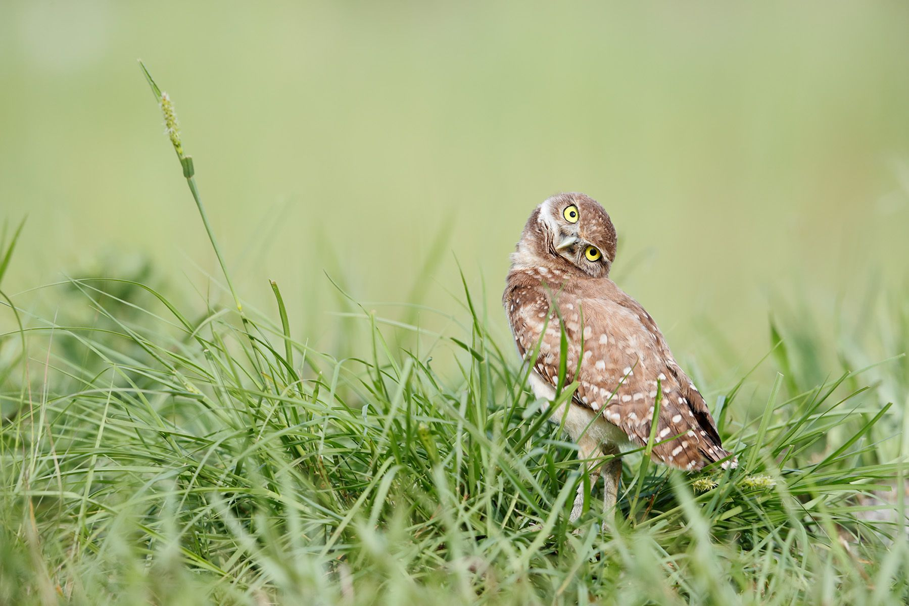 Burrowing owl looking crooked_A3I9632- Boca Raton Airport, FL, USA.jpg