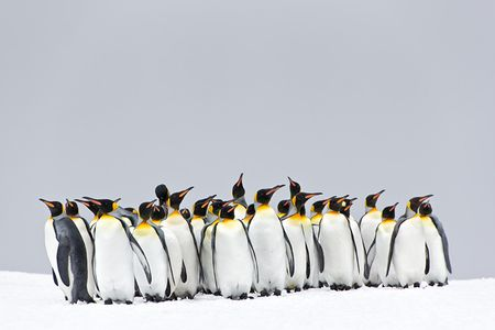 King-Penguin-group-standing-in-the-snow_E7T2597-Right-Whale-Bay-South-Georgia-Islands.jpg