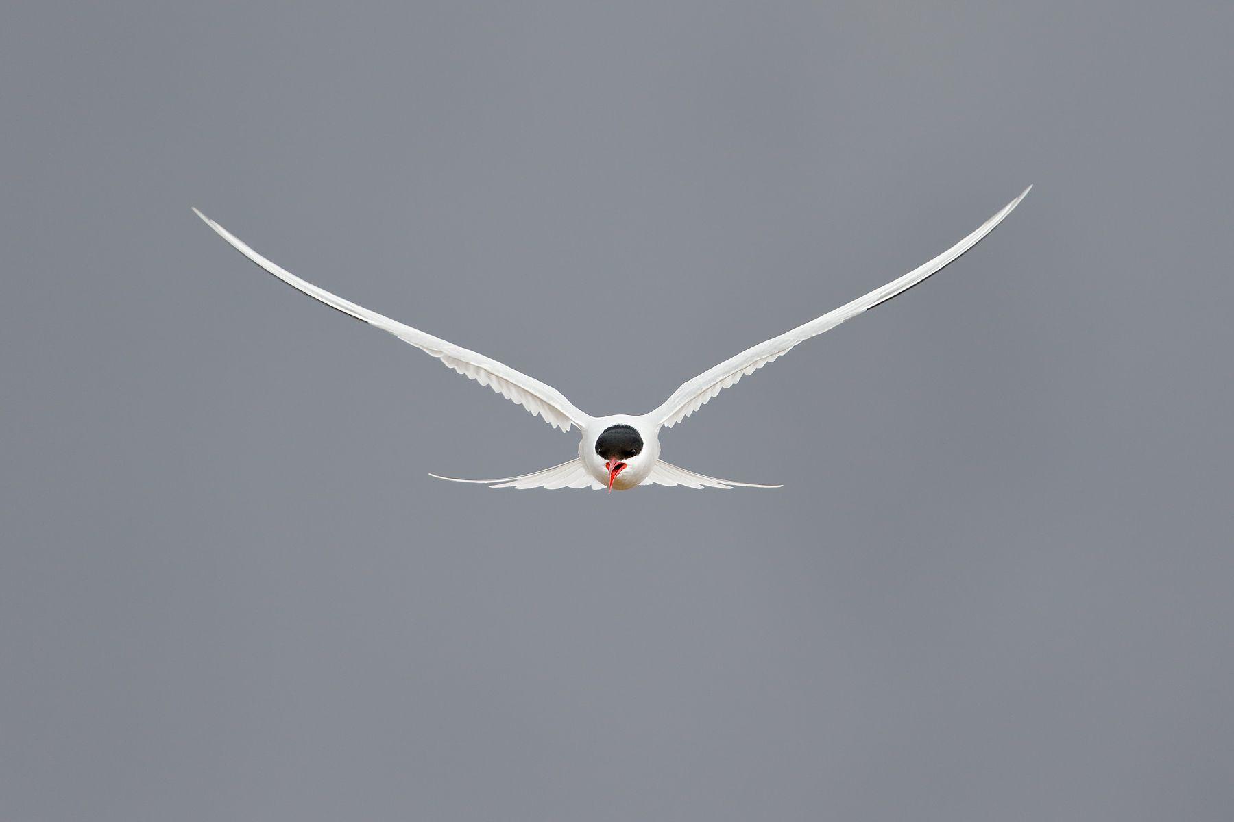 Arctic-tern-against-dark-blue-sky_44A2001-Ytri-Tunga,-West-Iceland.jpg