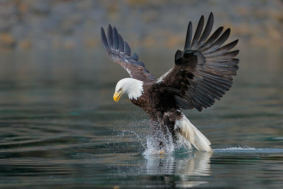 bald-eagle-claws-splash_b8r8842-kachemak-bay-homer-alaska-usa.jpg