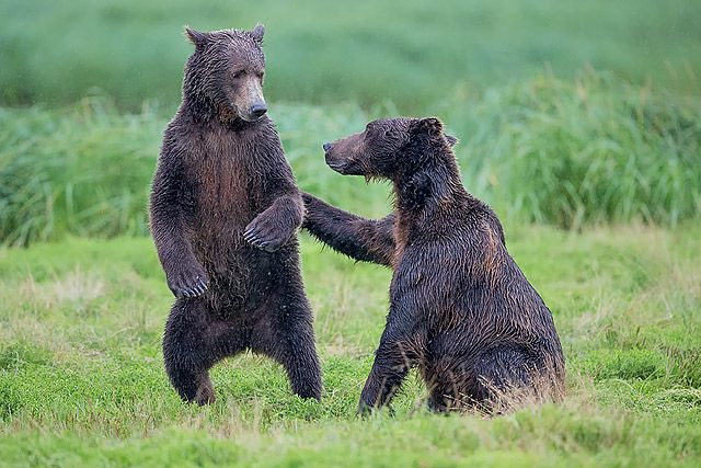 Coastal-brown-bear-pair-playing-in-the-grass-II_B8R1111-Geographic-Harbour-Katmai-NP-Alaska.jpg