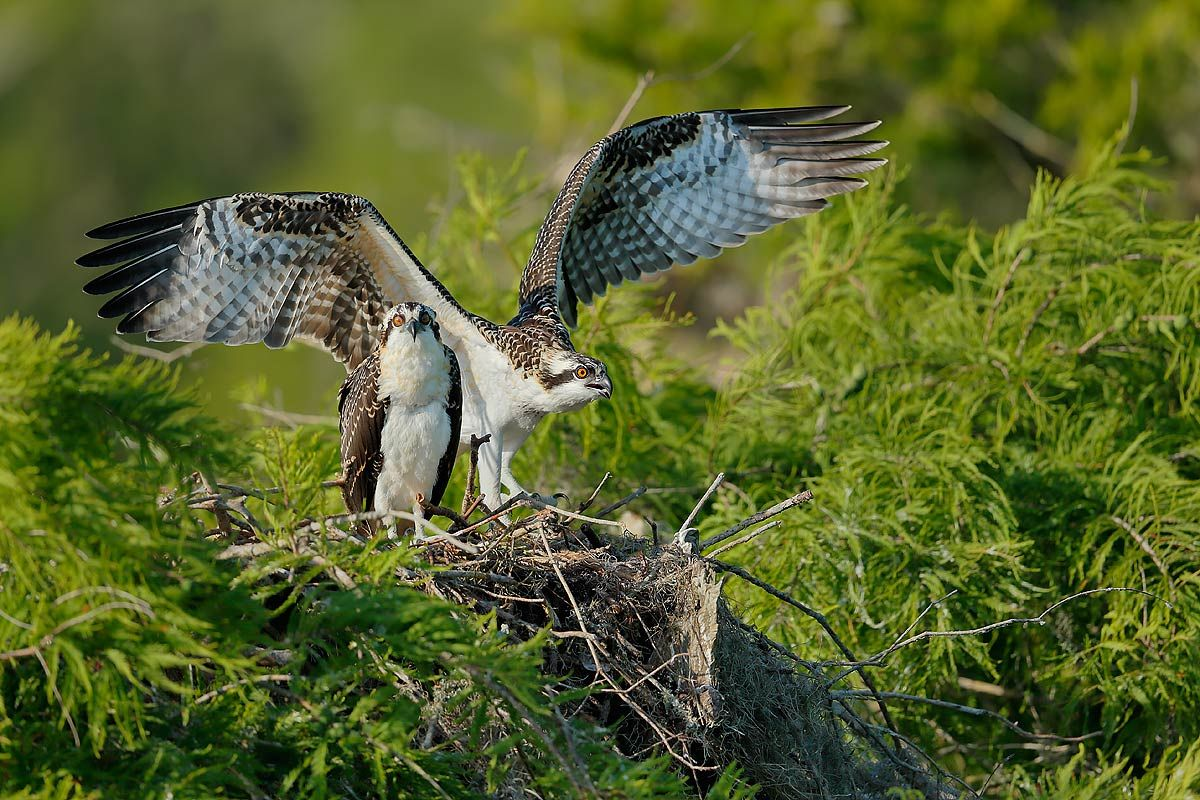 osprey-chicks-learning-to-fly_e7t1585-lake-blue-cypress-fl-usa.jpg
