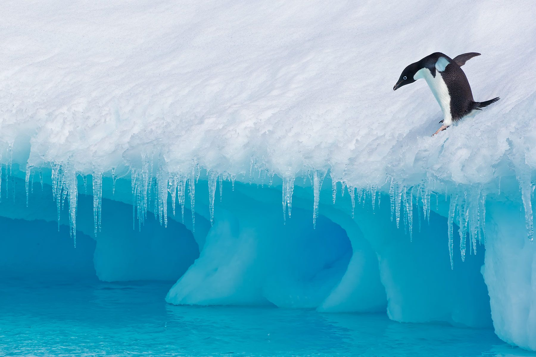 Adelie-Penguin-ready-to-jump-in-cold-water_E7T1743-Detaille-lsland,-Antarctica.jpg