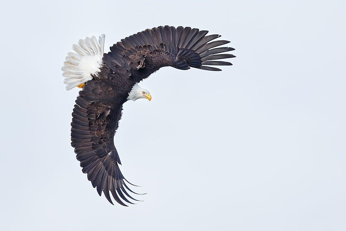 bald-eagle-banking-against-white-sky_e7t9612-kachemak-bay-homer-alaska-usa.jpg