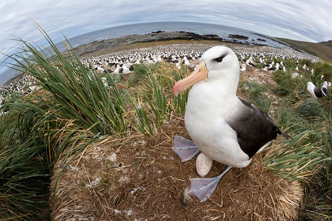 Black-browed-Albatross-on-the-nest-fisheye-view_E7T4706-Steeple-Jason-Falkland-Islands.jpg
