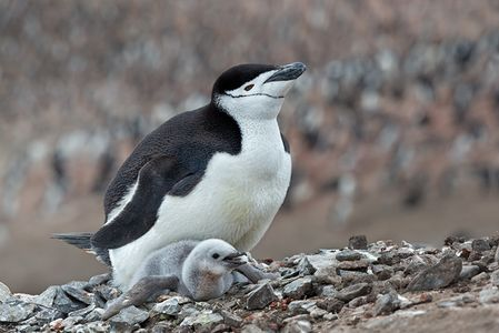 Chinstrap-Penguin-with-chick-on-the-nest-with-colony-bkgd_E7T4031-Bailey-Head-Deception-Island-Antarctica.jpg