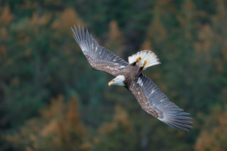 Bald eagle immature upside down_B8R6549-Kachemak Bay, Homer, Alaska, USA.jpg